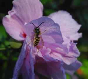 Straucheibisch Bluete rose Hibiscus syriacus 17