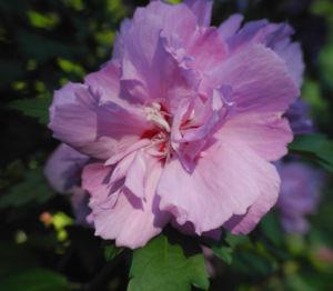 Straucheibisch Bluete rose Hibiscus syriacus 19