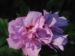 Zurück zum kompletten Bilderset Straucheibisch Blüte rose Hibiscus syriacus