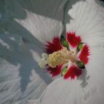 Straucheibisch Bluete weiss Hibiscus syriacus 01