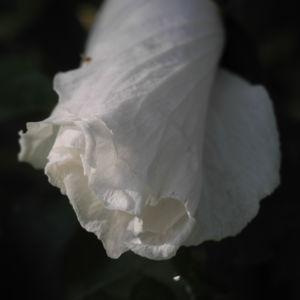 Straucheibisch Bluete weiss Hibiscus syriacus 03