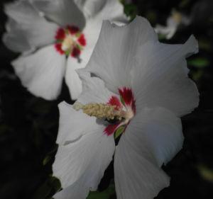 Bild: Straucheibisch Bluete weiss Hibiscus syriacus