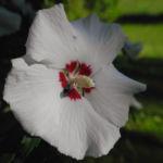 Straucheibisch Bluete weiss Hibiscus syriacus 06