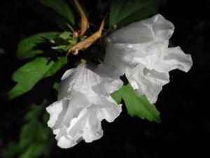Straucheibisch Bluete weiss Hibiscus syriacus 07