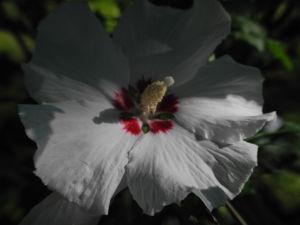 Straucheibisch Bluete weiss Hibiscus syriacus 09