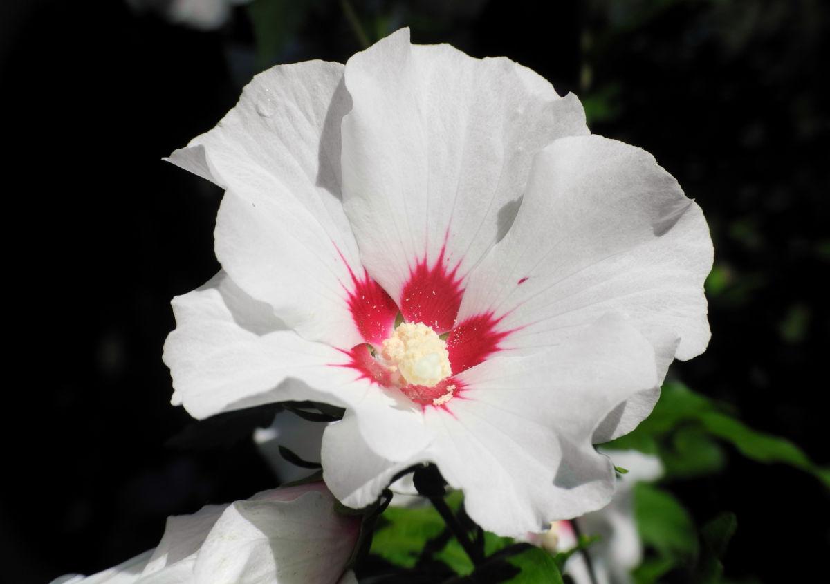 Straucheibisch Bluete weiss Hibiscus syriacus