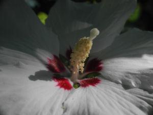 Straucheibisch Bluete weiss Hibiscus syriacus 10