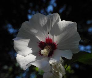Straucheibisch Bluete weiss Hibiscus syriacus 11