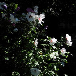 Straucheibisch Bluete weiss Hibiscus syriacus 13