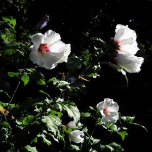 Straucheibisch Bluete weiss Hibiscus syriacus 14