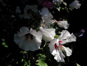 Straucheibisch Bluete weiss Hibiscus syriacus 15