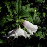 Bild: Straucheibisch Blüte weiß rot Hibiscus syriacus