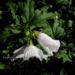 Zurück zum kompletten Bilderset Straucheibisch Blüte weiß rot Hibiscus syriacus