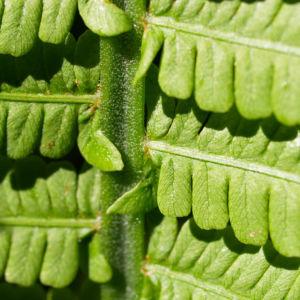 Bild: Straussfarn Blatt gruen Matteuccia struthiopteris