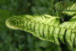 Straussfarn Blatt gruen Matteuccia struthiopteris 12