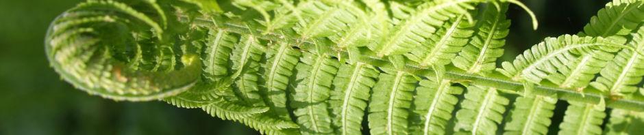 Anklicken um das ganze Bild zu sehen Straussfarn Blatt grün - Matteuccia struthiopteris