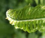 Straussfarn Blatt gruen Matteuccia struthiopteris 14
