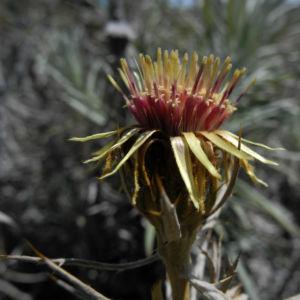 Strohblumen Eberwurz Blatt silbergruen Carlina xeranthemoides 02