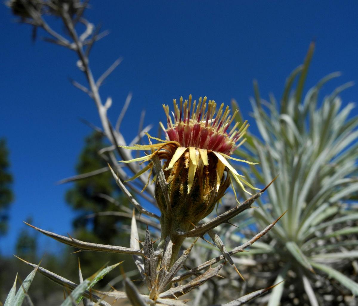 Strohblumen Eberwurz Blatt silbergruen Carlina xeranthemoides