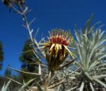 Strohblumen Eberwurz Blatt silbergruen Carlina xeranthemoides 04