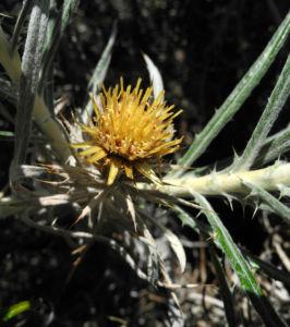 Strohblumen Eberwurz Blatt silbergruen Carlina xeranthemoides 05
