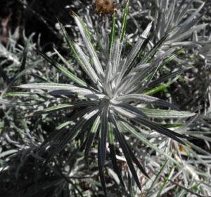 Strohblumen Eberwurz Blatt silbergruen Carlina xeranthemoides 06