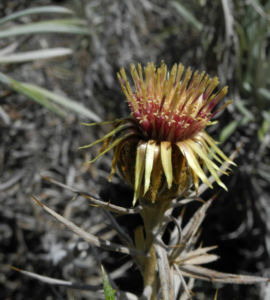 Strohblumen Eberwurz Bluete gelb Carlina xeranthemoides 00