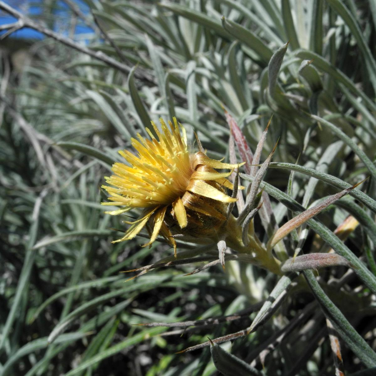 Strohblumen Eberwurz Bluete gelb Carlina xeranthemoides