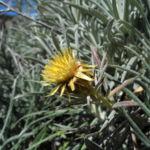 Strohblumen Eberwurz Bluete gelb Carlina xeranthemoides 10