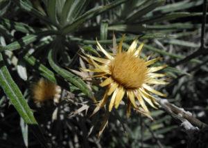 Strohblumen Eberwurz Bluete gelb Carlina xeranthemoides 12