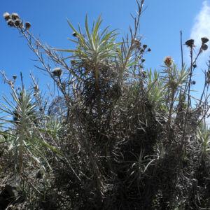 Strohblumen Eberwurz Staude silbergruen Carlina xeranthemoides 05