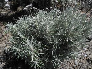 Strohblumen Eberwurz Staude silbergruen Carlina xeranthemoides 06