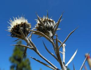 Strohblumen-Eberwurz Blüte gelb Carlina xeranthemoides