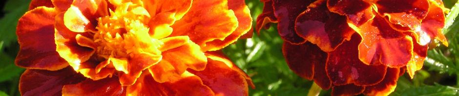 aufrechte-studentenblume-bluete-dunkel-orange-tagetes-erecta