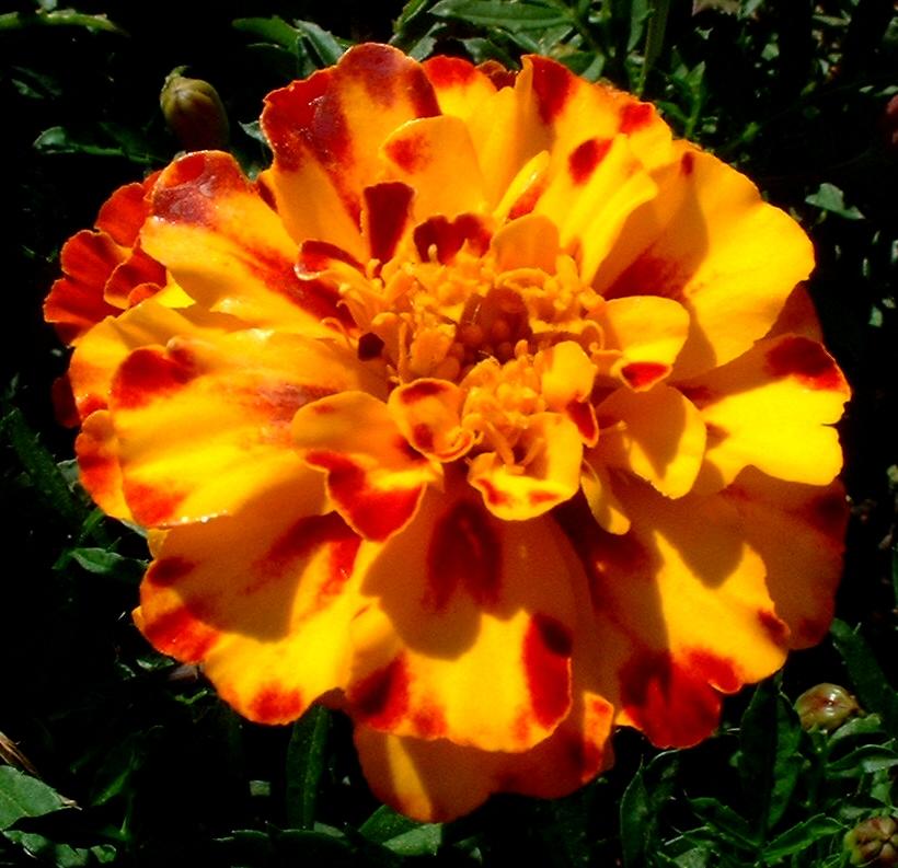 Studentenblume Bluete orange rot Tagetes