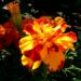 Zurück zum kompletten Bilderset Studentenblumen Blüte orangerot Tagetes erecta