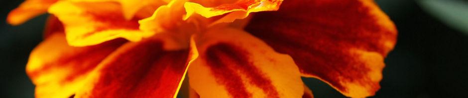 Anklicken um das ganze Bild zu sehen Studentenblumen Blüte rot orange Tagetes erecta