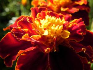 Studentenblume Sammetblume Bluete gelbrot Tagetes erecta 02