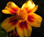 Studentenblume Sammetblume Bluete gelbrot Tagetes erecta 09