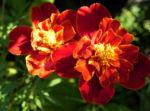 Bild: Aufrechte Studentenblume Sammetblumen Blüte gelbrot Tagetes erecta