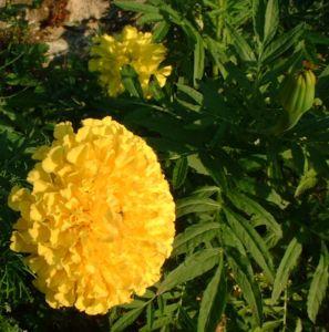 Studentenblume gelb Tagetes 01