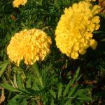 Studentenblume gelb Tagetes 02