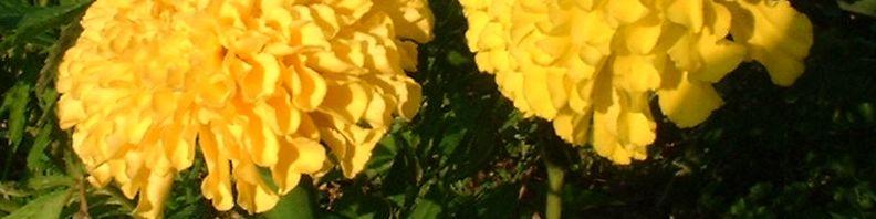 Anklicken um das ganze Bild zu sehen Studentenblumen Blüte gelb Tagetes
