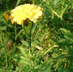 Studentenblume gelb Tagetes 03