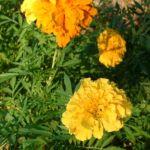 Studentenblume gelb Tagetes 04