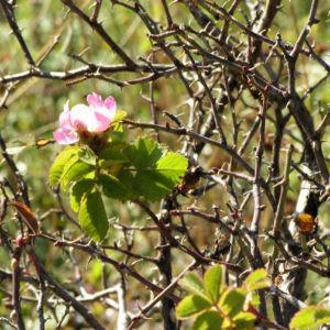 Suedliche Weinrose Bluete pink Rosa pulverulenta 01