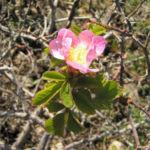 Suedliche Weinrose Bluete pink Rosa pulverulenta 02