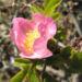 Zurück zum kompletten Bilderset Südliche Weinrose Blüte pink Rosa pulverulenta