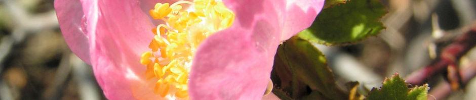 suedliche-weinrose-bluete-pink-rosa-pulverulenta