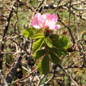Suedliche Weinrose Bluete pink Rosa pulverulenta 04